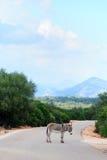Esel in Sardinien Stockbild