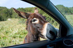Esel schaut im Fenster des Autos stockbild