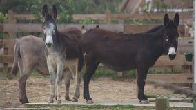 Esel, Spezies gefährdet in einem Bauernhof [50fps] stock video