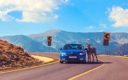 Esel stoppt Auto für Gebühr lizenzfreie stockfotos