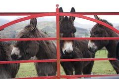 Esel am Tor in Irland stockbilder