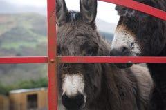 Esel am Tor in Irland lizenzfreies stockbild