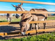 Esel in Toskana, Italien lizenzfreies stockfoto