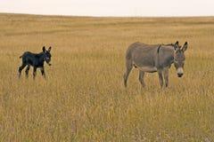 Esel und Colt lizenzfreies stockbild