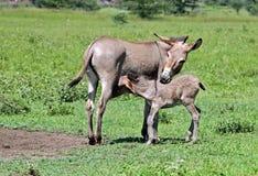 Esel und Colt Stockfotos