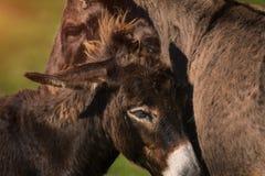 Esel und das Maultier Stockfotografie