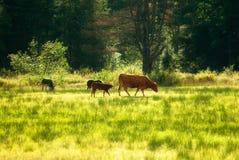 Esel und Kühe, die auf einem Gebiet weiden lassen Stockbilder
