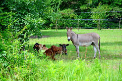 Esel und Kühe, die weg im Schatten abkühlen Stockfoto
