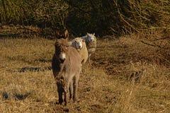Esel und Schafe auf einer Reihe in einer sonnigen trockenen Wiese Lizenzfreies Stockbild