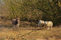 Esel und Schafe in einer unny trockenen Wiese Stockfotos