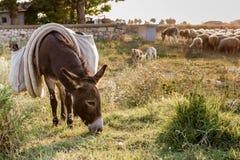 Esel und Schafherde, die weiden lassen Lizenzfreies Stockfoto