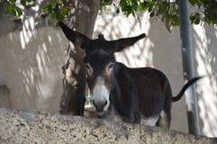 Esel von Oman Stockfotos