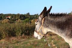 Esel von Portugal Lizenzfreies Stockbild