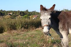 Esel von Portugal Stockfotos