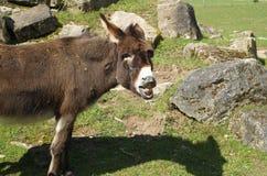 Esel zeigt die Zähne Lizenzfreie Stockfotografie