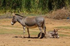 Eselbaby an der Ackerlandlandschaft Stockfotografie