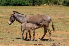 Eselbaby und -mutter an der Ackerlandlandschaft Lizenzfreies Stockfoto