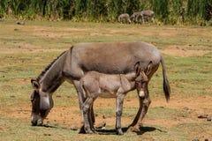 Eselbaby und -mutter an der Ackerlandlandschaft Stockfotografie
