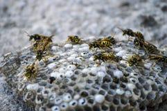 Eselbiene, wilde Bienen, Nest von Eselbienen, gefährliche giftige Bienen, wilde Eselbienen in der Bienenwabe Lizenzfreies Stockfoto