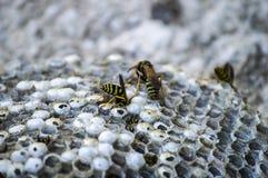 Eselbiene, wilde Bienen, Nest von Eselbienen, gefährliche giftige Bienen, wilde Eselbienen in der Bienenwabe Stockfotografie