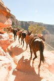 Eseltransport, der oben Grand Canyon geht Lizenzfreies Stockfoto