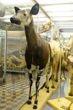 Esemplare degli okapi in museo immagini stock libere da diritti