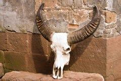 Esemplare del cranio della Buffalo Fotografia Stock Libera da Diritti