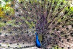 Esemplare del pavone in un giardino botanico a Lisbona Fotografie Stock Libere da Diritti