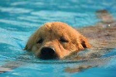Esercizio del cucciolo di golden retriever nella piscina immagine stock