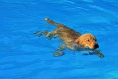 Esercizio del cucciolo di golden retriever nella piscina immagini stock libere da diritti