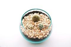 Esert Gem Cactus, cactus del Ladyfinger, cactus di barilotto dorato, cactus del Gymnocalycium Immagini Stock Libere da Diritti