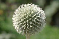 Esfera da flor Fotos de Stock