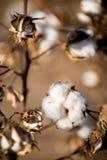Esfera de algodão Fotos de Stock