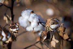 Esfera de algodão Fotos de Stock Royalty Free