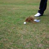 Esfera faltante do jogador de golfe imagens de stock