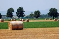 Esfera seca do trigo em um campo colhido   imagem de stock royalty free