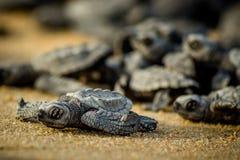 Esforço das tartarugas de mar do bebê para a sobrevivência após o choque em México imagens de stock royalty free