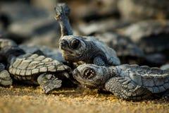 Esforço das tartarugas de mar do bebê para a sobrevivência após o choque em México foto de stock