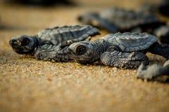 Esforço das tartarugas de mar do bebê para a sobrevivência após o choque em México foto de stock royalty free