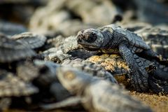 Esforço das tartarugas de mar do bebê para a sobrevivência após o choque em México fotos de stock