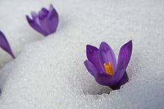Esforço dos açafrões através da neve Fotos de Stock