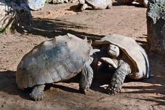 Esforço entre as duas tartarugas Imagem de Stock