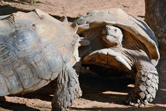 Esforço entre as duas tartarugas Fotos de Stock Royalty Free