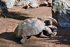 Esforço entre as duas tartarugas Fotos de Stock