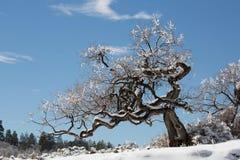 Esfregue o carvalho coberto na neve e congele-o após uma tempestade do inverno fotos de stock