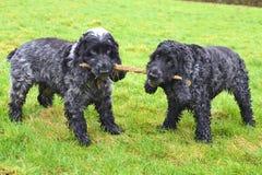 Esfuerzo supremo inglés de los perros de aguas de cocker Fotografía de archivo libre de regalías