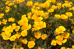 Eshsholtsiya de floraison lumineux Photos stock