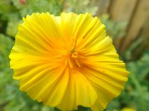 Eshsholziya del fiore fotografia stock libera da diritti
