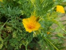 Eshsholziya del fiore Immagine Stock Libera da Diritti
