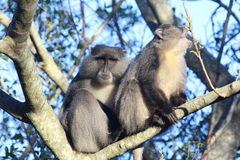 Esigere di Sykes Monkey Immagine Stock